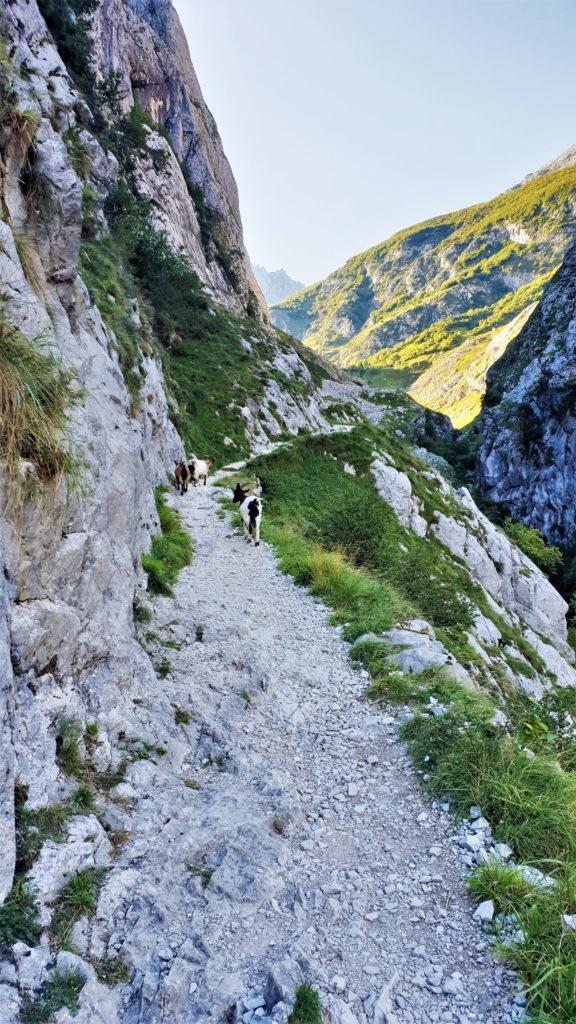 Bergziegen auf dem Wanderweg