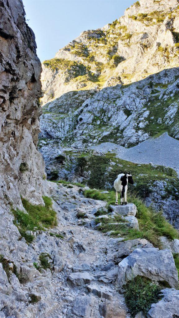 Bergziege auf dem Wanderweg